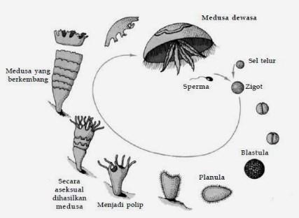 reproduksi cnidaria
