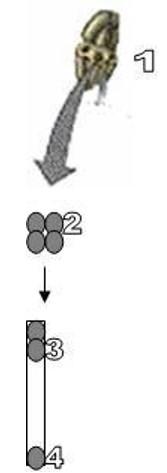 soal pembelahan sel no 10