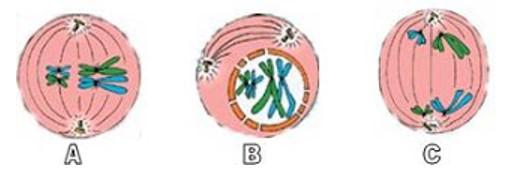 soal pembelahan sel no 9