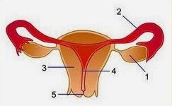 soal sistem reproduksi manusia no 3