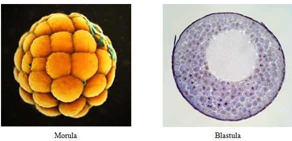 Fase Germinal