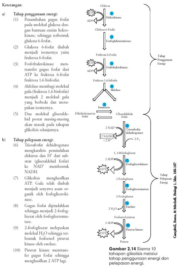 Fosforilasi Glikolisis