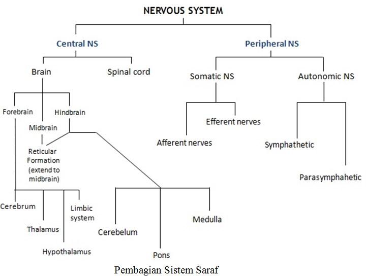 Pembagian Sistem Saraf