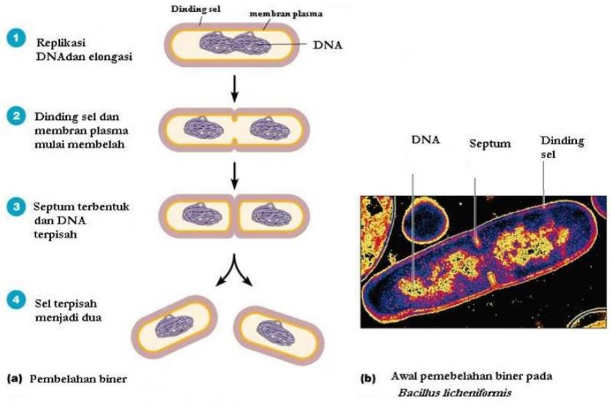 Pembelahan sel secara amitosis atau Pembelahan Biner