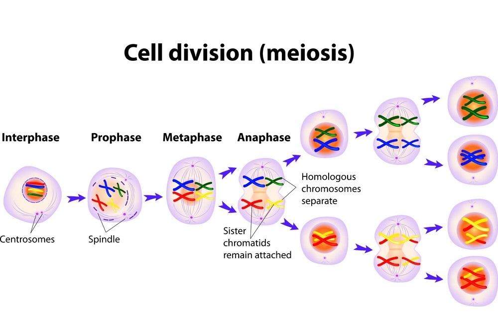 Pembelahan sel secara meiosis