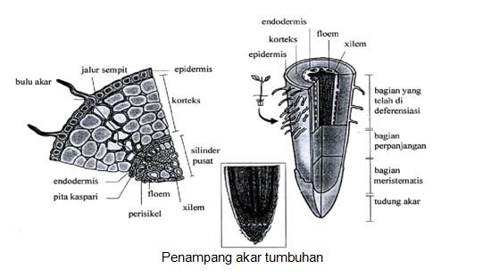 Penampang akar tumbuhan