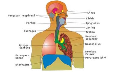 Rongga Hidung (Cavum Nasalis)