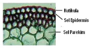 Sel epidermis dan stomata pada daun