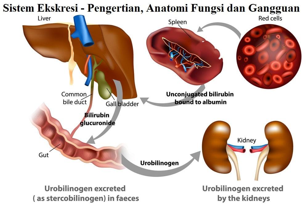 Sistem Ekskresi - Pengertian, Anatomi Fungsi dan Gangguan
