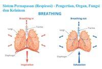 Sistem Pernapasan (Respirasi) - Pengertian, Organ, Fungsi dan Kelainan