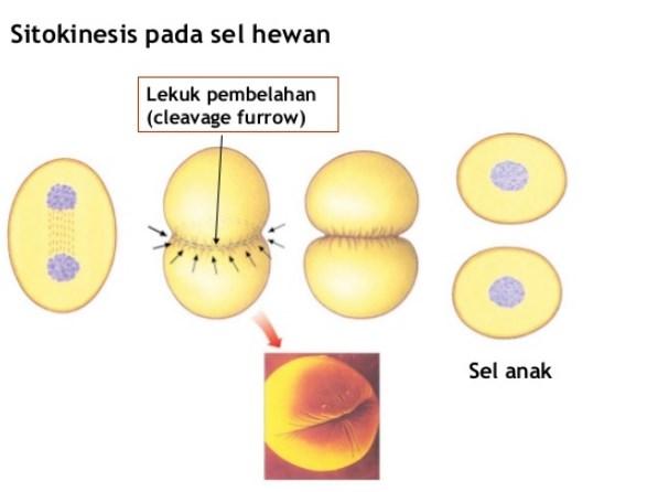Sitokinesis pada sel hewan