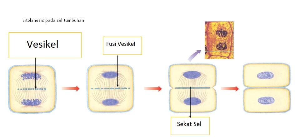 Sitokinesis pada sel tumbuhan