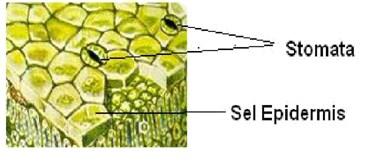 Skema jaringan epidermis pada daun