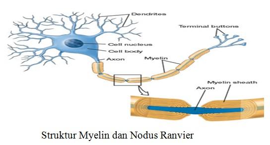 Struktur Myelin dan Nodus Ranvier