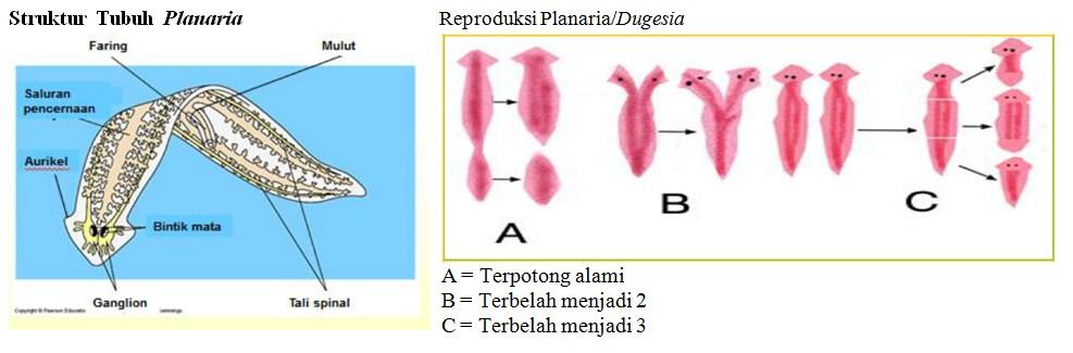 struktur plananria