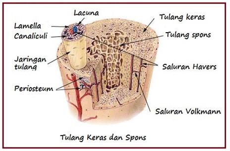 Tulang keras dan tulang spons
