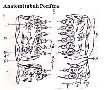 anatomi tubuh porifera