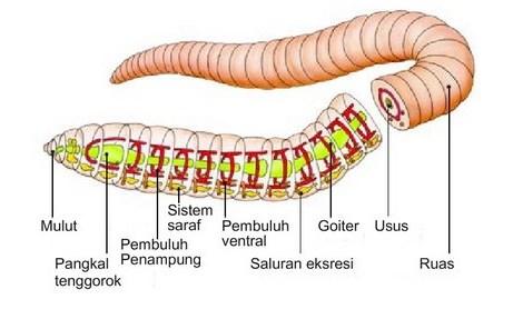 Annelida (cacing gelang)