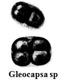 Gleocapsa sp