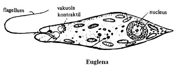 klasifikasi protozoa 2