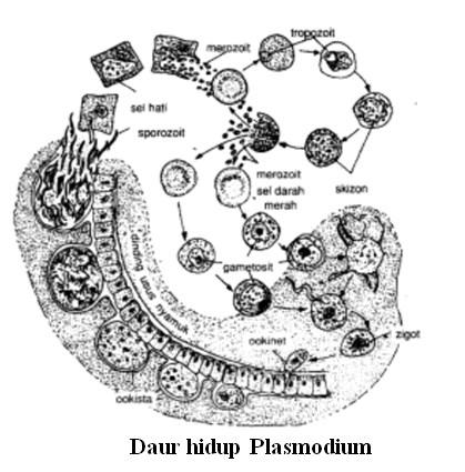 klasifikasi protozoa 4