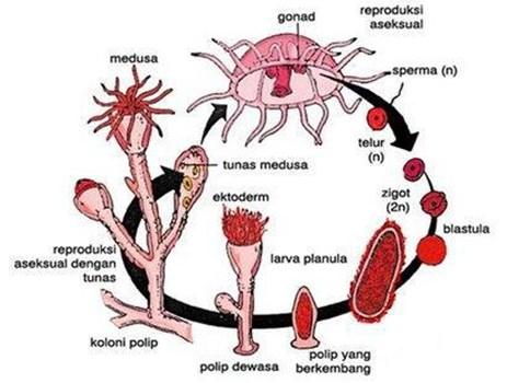 Reproduksi Obelia Mengalami metagenesis dari reproduksi generatif dan vegetatif