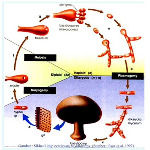 Kingdom Fungi (Jamur) - Pengertian, Ciri-Ciri, Struktur ...
