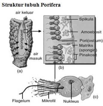 struktur porifera