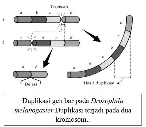 Duplikasi gen bar pada Drosophila melanogaster