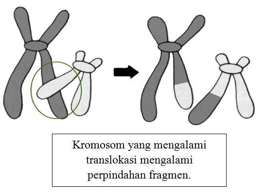 Kromosom yang mengalami translokasi