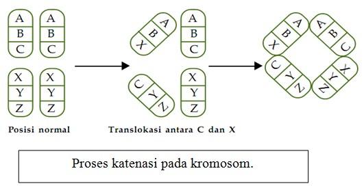Proses katenasi pada kromosom